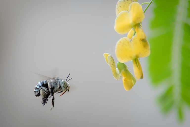 Male Blue Banded Bee
